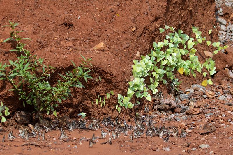 Lemon Migrants, Spot Swordtails, & Lime Swallowtails<br /> Telangana, India