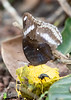 Chocolate Pansy & Great Eggfly<br /> Kerala, India