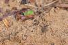 Braided Tiger Beetle<br /> Telangana, India