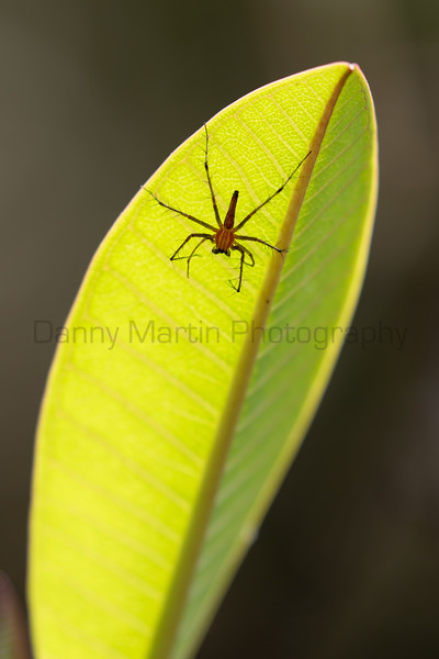 Lean Lynx Spider (?)<br /> Kerala, India