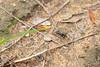 Flightless Tethys Tiger Beetle<br /> Telangana, India