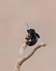 Slender-scaped Carpenter Bee<br /> Karnataka, India