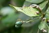 Asian Weaver Ant on Cinnamon Tree<br /> Kerala, India