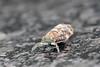 Hemipteran (unidentified)<br /> Karnataka, India