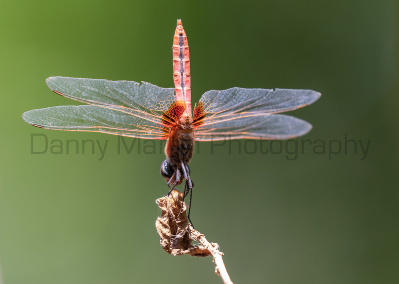 Scarlet Marsh Hawk (female)<br /> Kerala, India