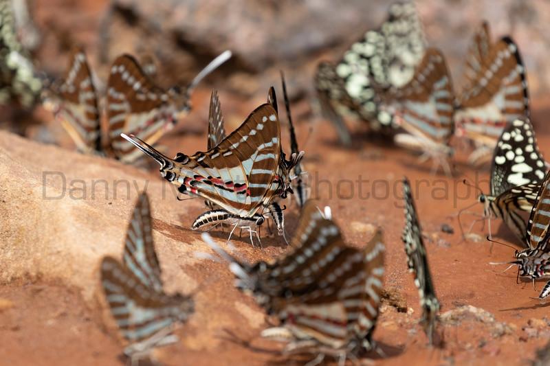 Spot Swordtails<br /> Telangana, India