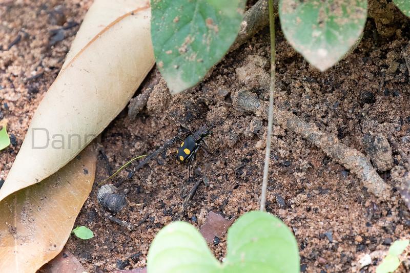 Bicolored Tiger Beetle<br /> Telangana, India