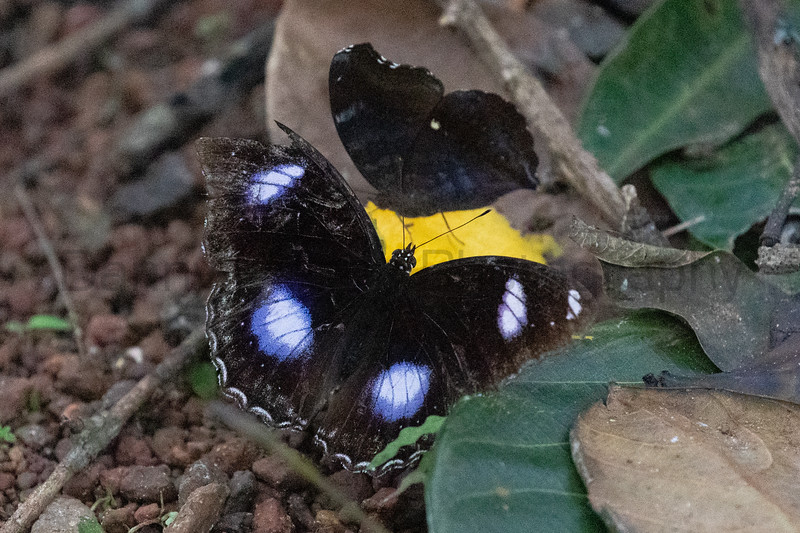 Great Eggfly & Chocolate Pansy<br /> Kerala, India