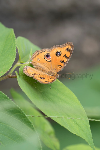 Peacock Pansy<br /> Kerala, India