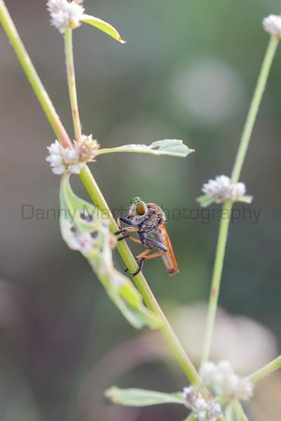 Robberfly<br /> Kerala, India