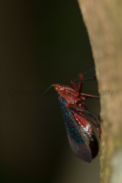 Lanterfly (fulgorid) <br /> Kerala, India