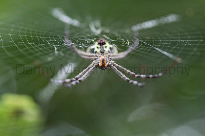 Signature Spider (orb-weaver)<br /> Kerala, India