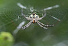 Signature Spider (orb-weaver)<br /> Kerala, India