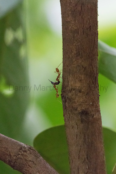 Ant (sp.) with wasp prey<br /> Kerala, India