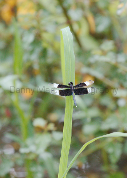 Pied Paddy Skimmer (male)<br /> Kerala, India