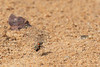 Braided Tiger Beetles mating<br /> Telangana, India