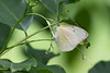 Indian Cabbage White<br /> Kerala, India