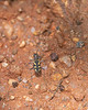 Transverse-banded Tiger Beetle<br /> Telangana, India