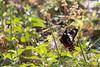 Crimson Rose Swallowtail<br /> Karnataka, India