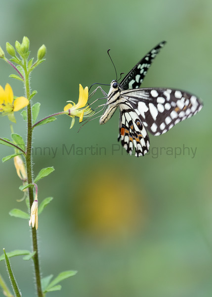 Lime Swallowtail<br /> Telangana, India