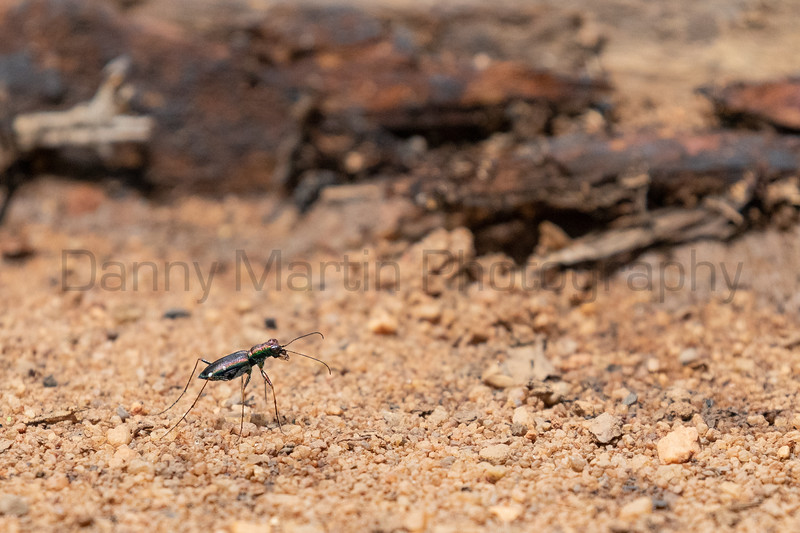 Tethys Tiger Beetle (Jansenia sp.)<br /> Telangana, India