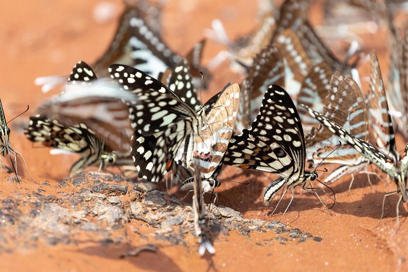 Lime Swallowtails & Spot Swordtails<br /> Telangana, India