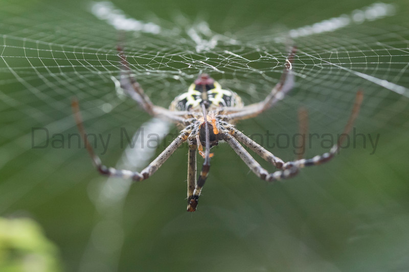 Signature Spider (orb-weaver) cleaning her legs<br /> Kerala, India