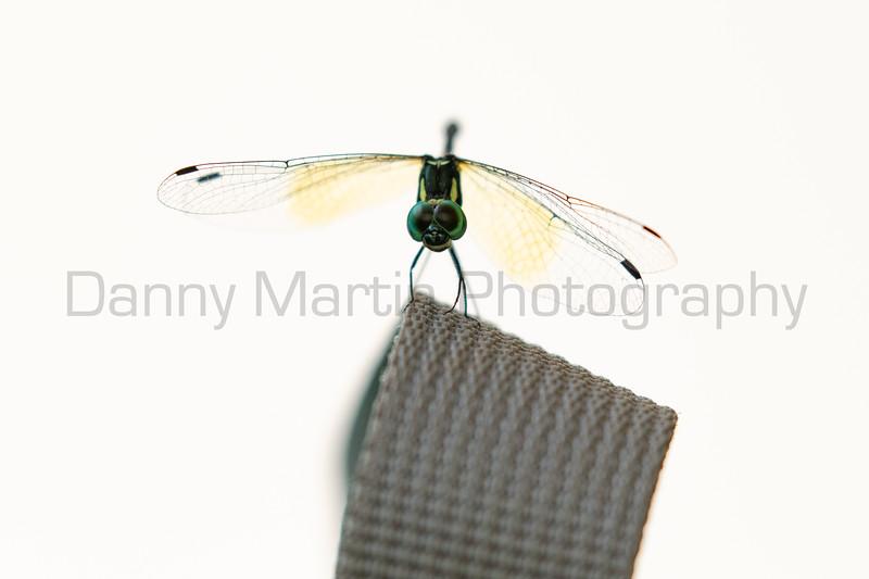 Pigmy Skimmer (male)<br /> Kerala, India