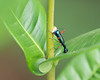 Tiger Beetle (Neocollyris sp.) boring a hole to lay eggs.<br /> Kerala, India