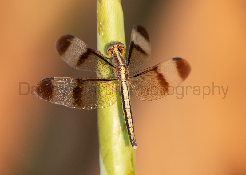 Pied Paddy Skimmer (female)<br /> Kerala, India