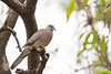 Spotted Dove<br /> Telangana, India