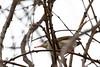 Common Tailorbird with spider prey<br /> Telangana, India