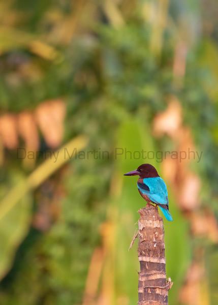 White-throated Kingfisher<br /> Kerala, India