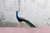 Indian Peafowl (male)<br /> suburban Telangana, India