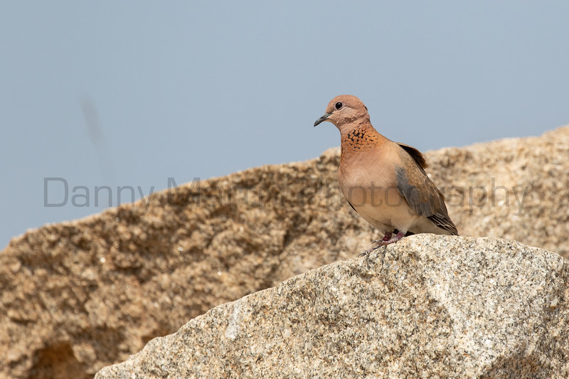 Laughing Dove<br /> Karnataka, India