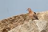 Laughing Dove<br /> Karnataka, India