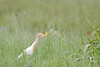 Cattle Egret<br /> Kerala, India