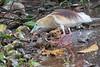 Indian Pond Heron (foraging)<br /> Kerala, India