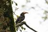 Malabar Grey Hornbill<br /> Tamil Nadu, India