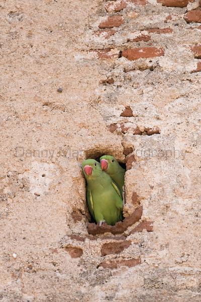 Rose-ringed Parakeets (juveniles)<br /> Karnataka, India