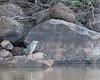 Striated Heron on the Kabini River<br /> Karnataka, India