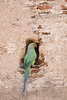 Rose-ringed Parakeet<br /> Karnataka, India