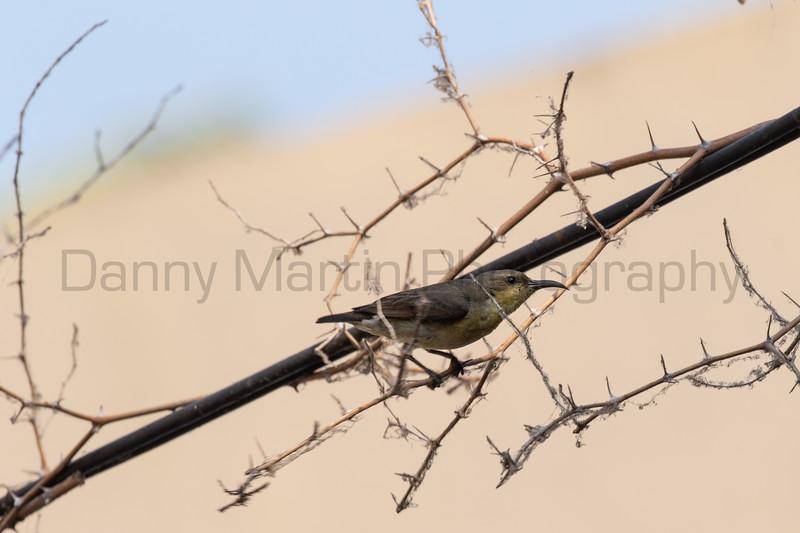 Purple-rumped Sunbird (female)<br /> Karnataka, India