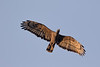 Honey Buzzard<br /> Karnataka, India