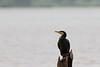 Great Cormorant<br /> Kabini River, Karnataka, India