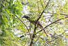 Indian Gray Hornbill (foraging)<br /> Telangana, India