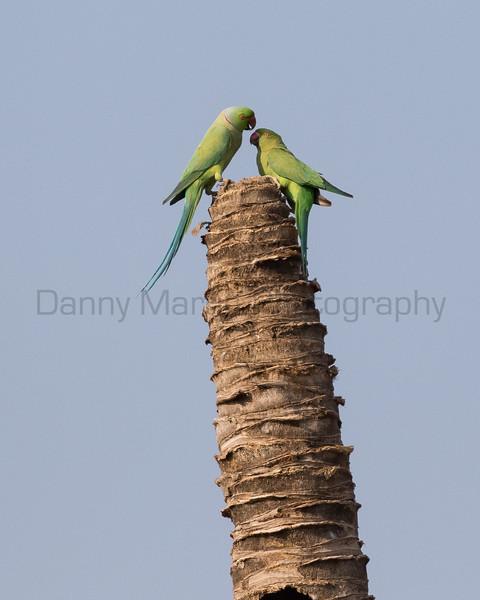 Rose-ringed Parakeets<br /> Karnataka, India