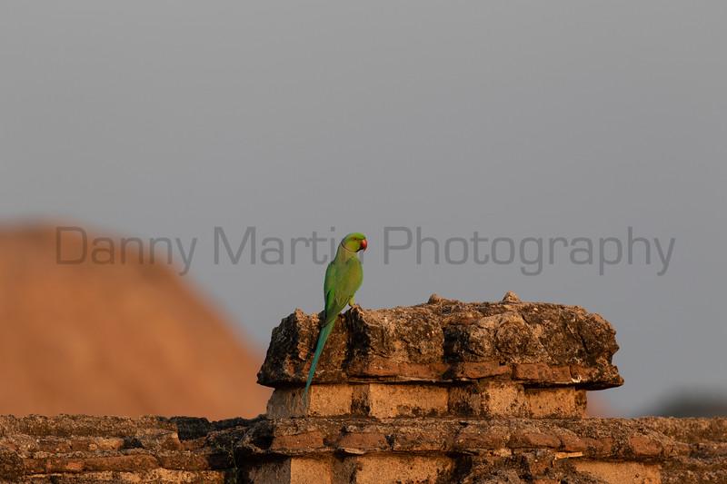 Rose-ringed Parakeet<br /> Karnataka, India