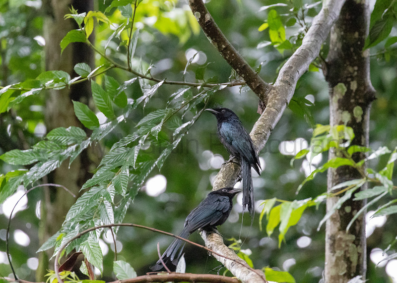 Greater Racket-tailed Drongo<br /> Tamil Nadu, India