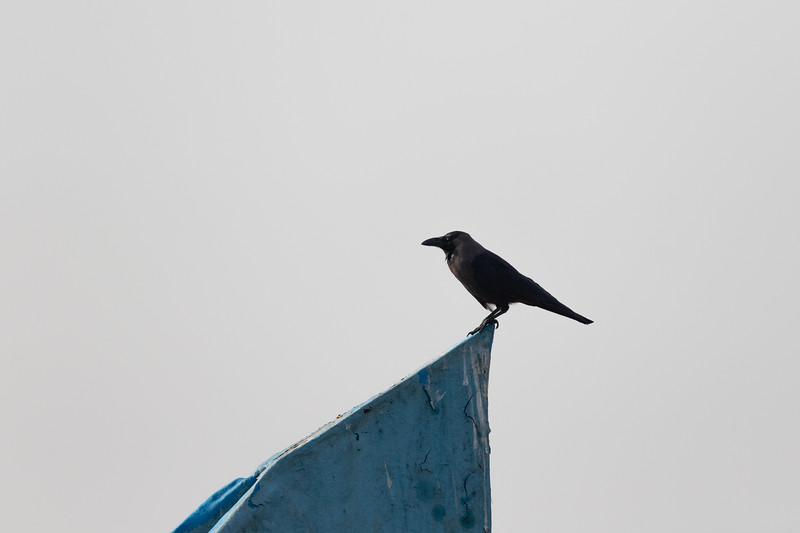House Crow perched on fishing boat<br /> Kerala, India